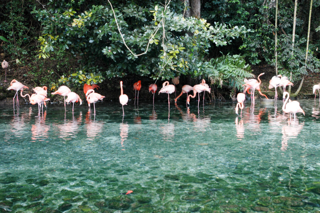 Dominikanische Republik Flamingos