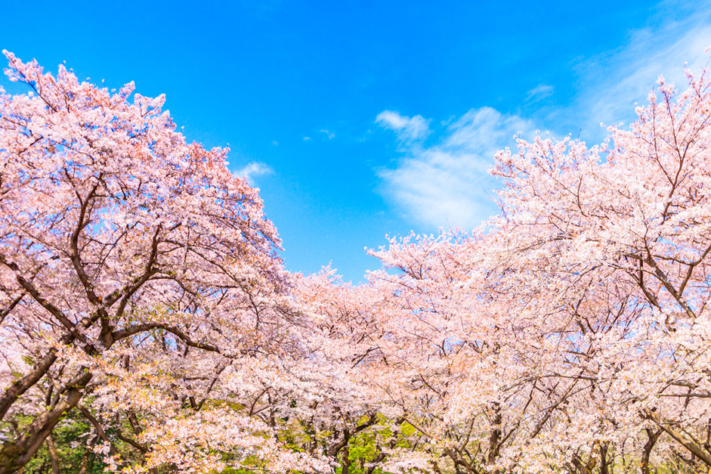 Sakura, Kirschblüte, in Japan