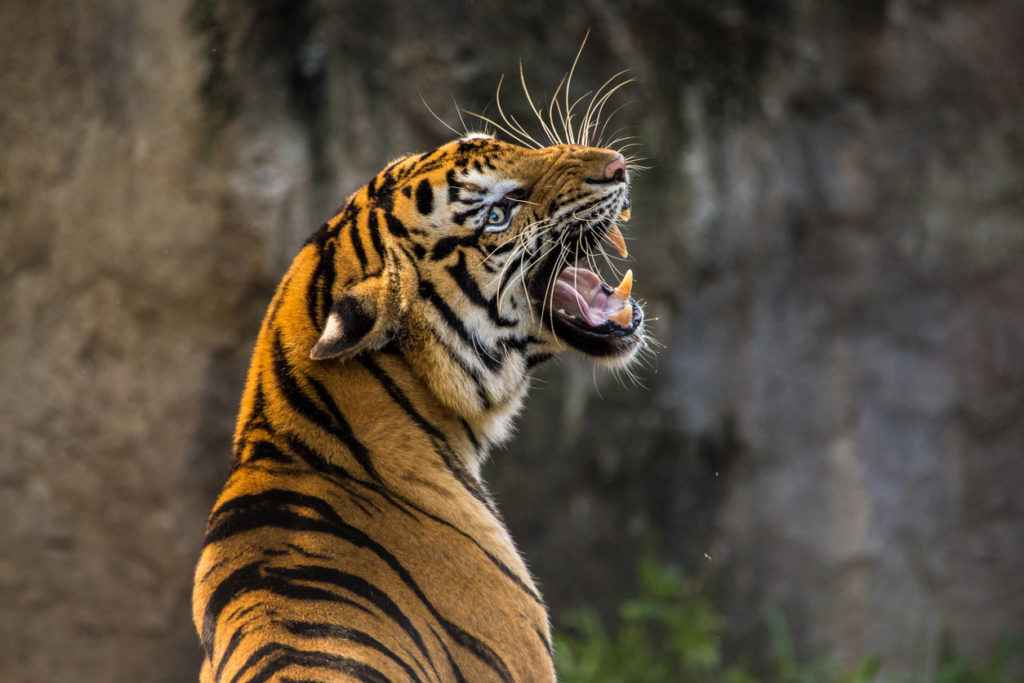 Tiger in Bangladesch
