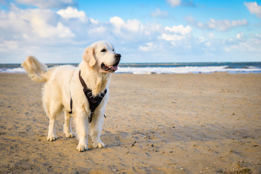 Hund am Scheveninger Strand, Holland
