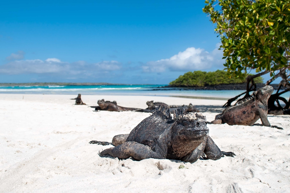 Meerechse am Strand, Galapagos Inseln